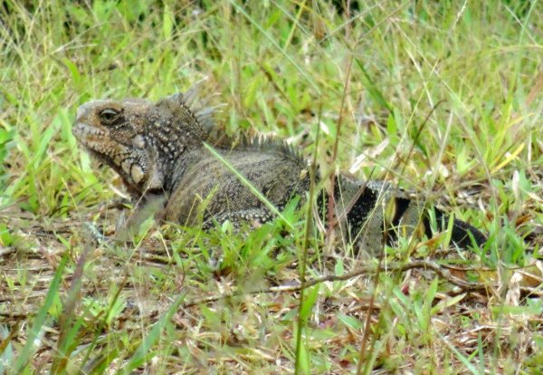 Reptiles de Guyane : Iguanes