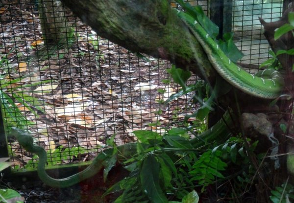 Reptiles de Guyane : Serpents