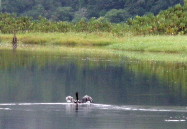 Oiseaux de Guyane : Marais de Kaw