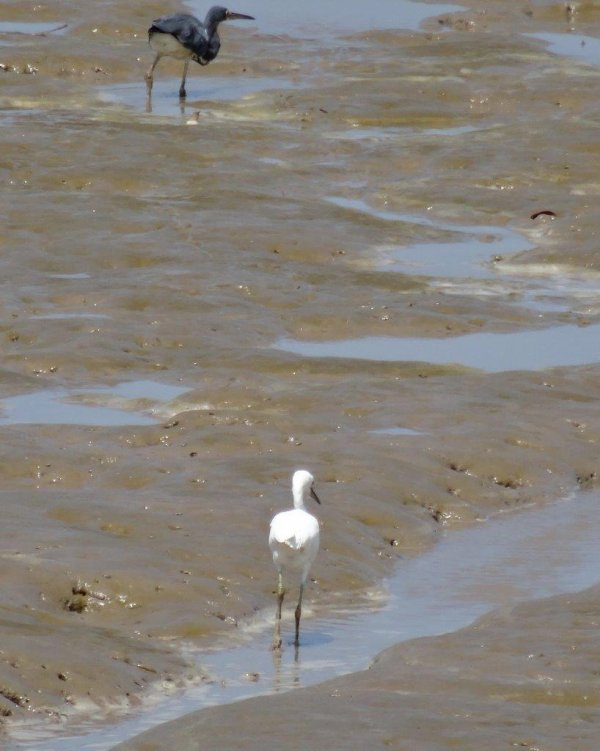 Oiseaux de Guyane : Mangrove