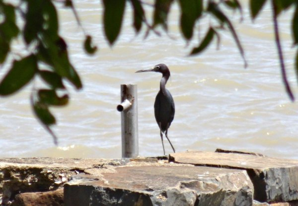 Oiseaux de Guyane : bord de mer