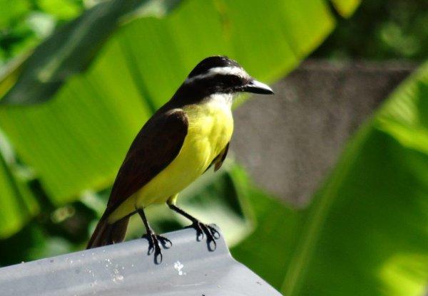 Oiseaux de Guyane : Petits oiseaux de jardin