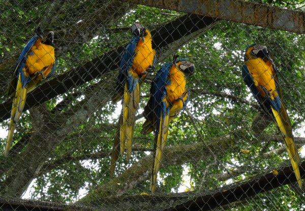 Oiseaux de Guyane : en forêt