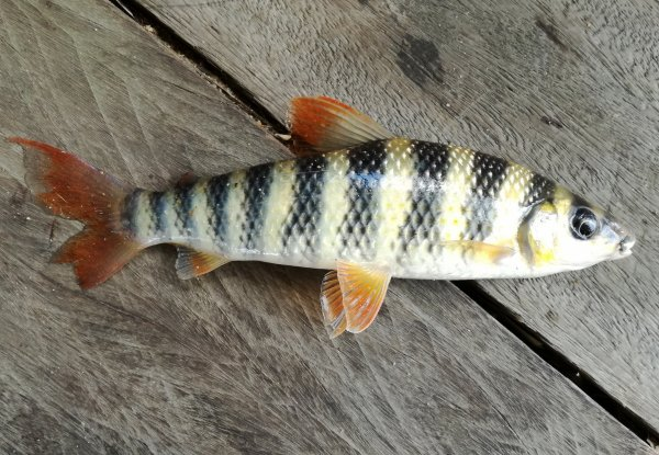Quelques poissons que j'ai pêché dans le fleuve Maroni