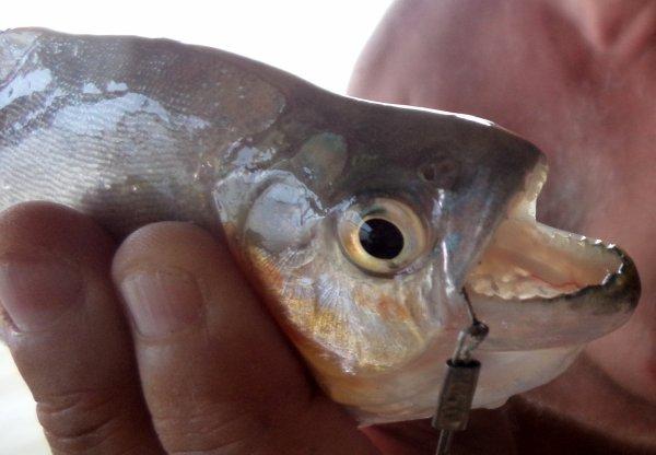 Piranhas du Maroni