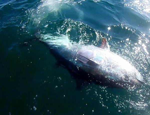 Pêche gros thons 23/9/2017