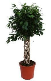Entretien du ficus benjamina tout savoir sur les fleurs for Entretien bonsai interieur