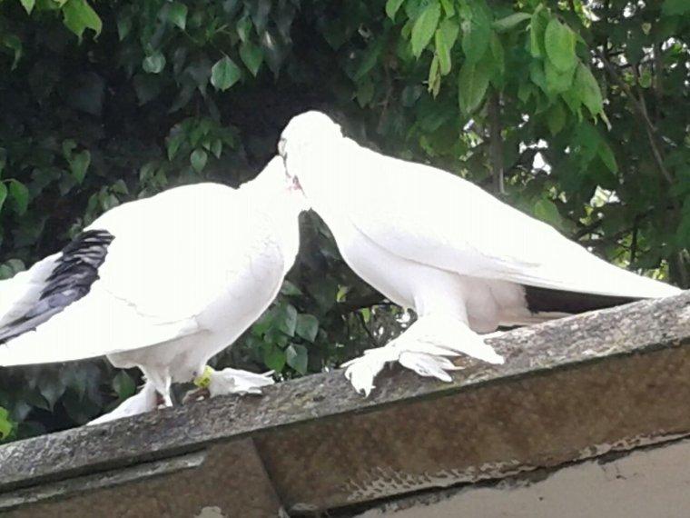 Couple de Krymka qui s'accouple