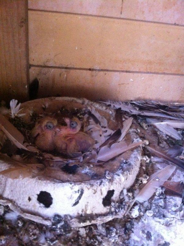 Jeune pigeons Varsovie !