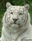 Photo de the-white-tiger001