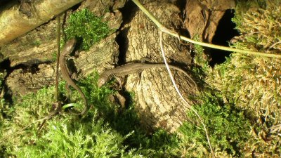 Lézards des souches (Juvéniles)