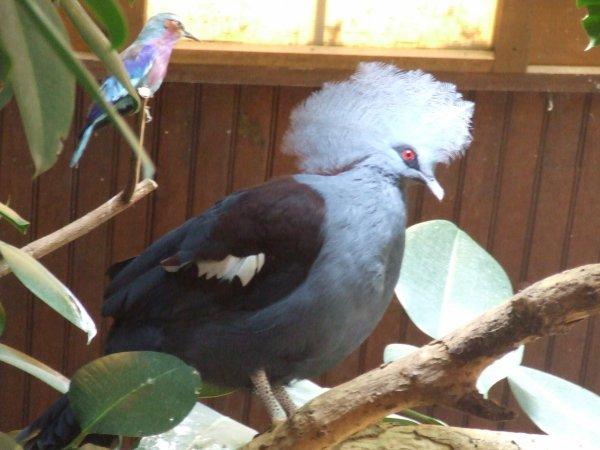 un coucou du parc des oiseaux