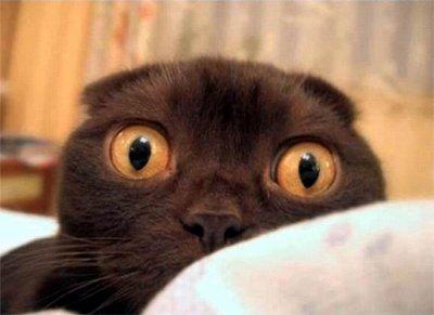 Chat aux gros yeux le blog des animaux bizarres - Animaux a gros yeux ...