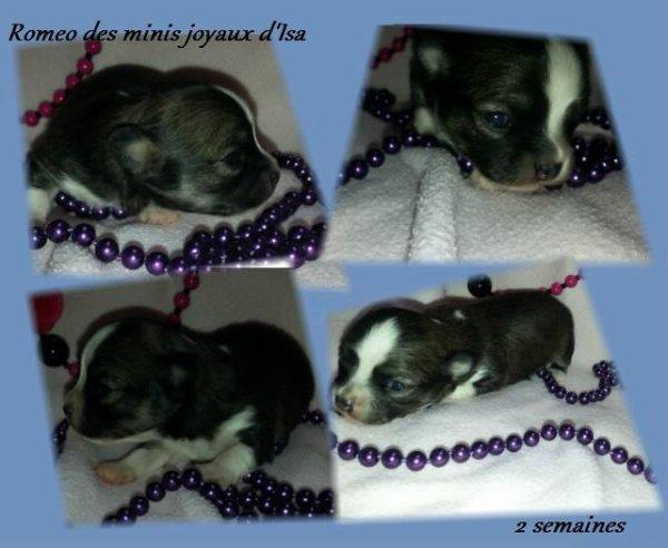 Roméo (2 semaines)