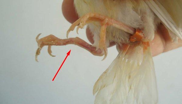 Oisillon avec jambe cassée