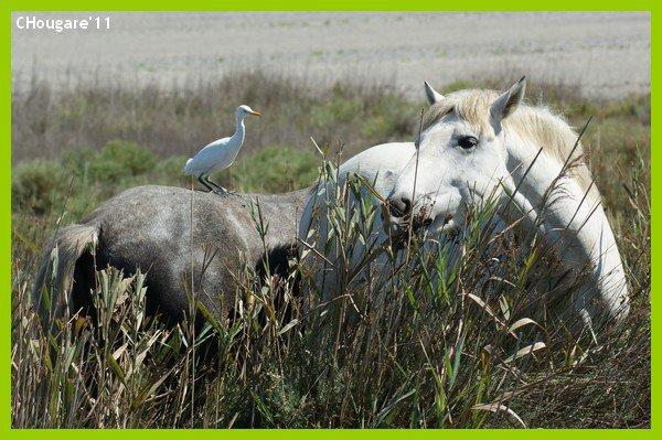 Camargue 2011 -> Incontournables chevaux...
