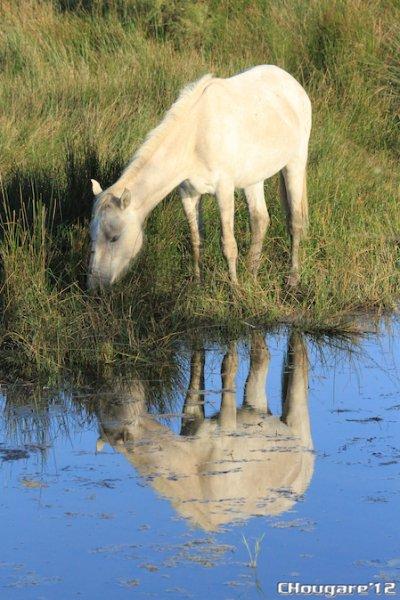 CAMARGUE - Chevaux du matin