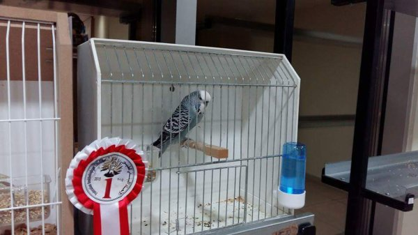 Direct son of my budgies won 1st place