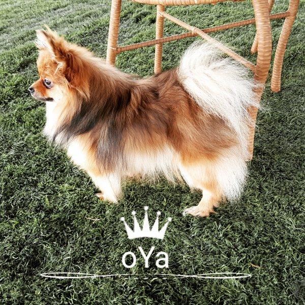 Ny Pomeranian