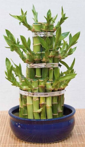"""Plante Porte Bonheur la plante """"porte-bonheur"""" des asiatiques vraiment très élégante"""