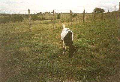 Juliette = chèvre naine, noire et blanche
