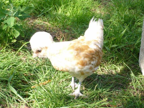 Poussins padoues née le 22 Juin 2011