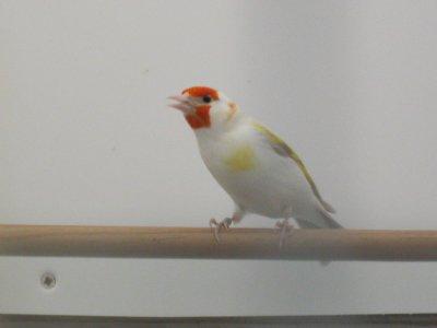 femelle eumo pastel