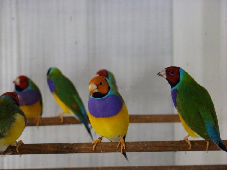 quelques un de mes oiseaux au repos et en cours de mue.
