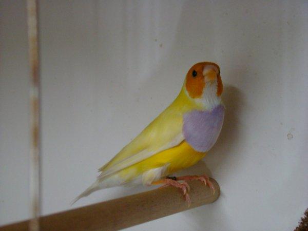 mâle jaune porteur de bleu.
