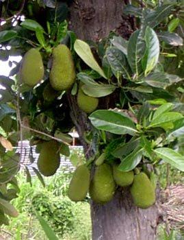 Quelques fruits de l'île