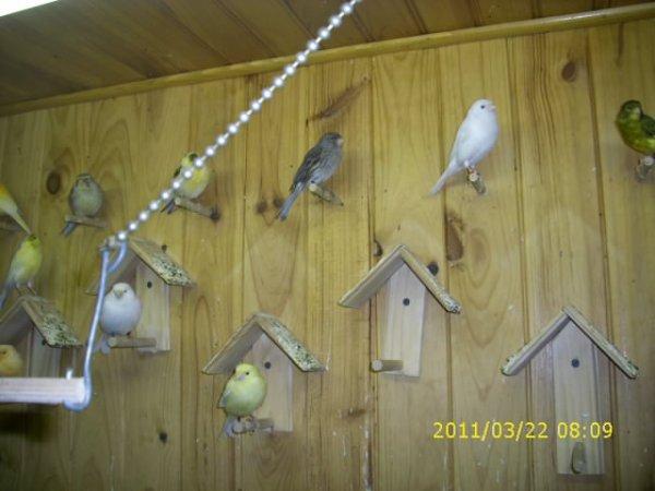 voila  mes  oiseaux