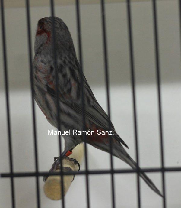 Negro Cobalto Rojo Mosaico. Campeón Geel 2.010.  94 Puntos.