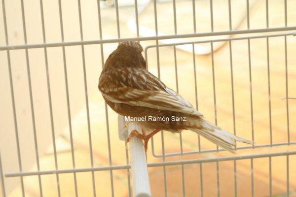 Macho 173/B93/2.010. PAHEO FONDO BLANCO.