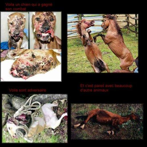 Les combats d'animaux