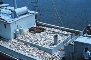 La souffrance méprisée des animaux aquatiques ___ Pêche intensive, le sabortage des océans