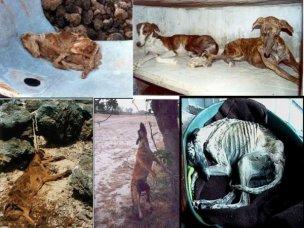 Course de lévriers   Certaines forêts espagnoles sont célèbres pour les cadavres de chiens pendus aux arbres.