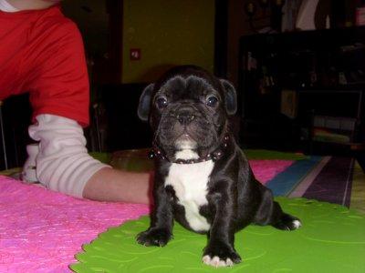 boulldog a vendre 4fem et 3 mal