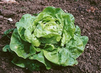 Choix des légumes de son potager pour cette année