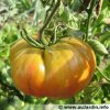 il va falloir y penser:  semis de Tomate