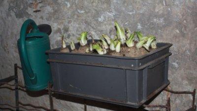 Plantation des chicons (endives) dans la cave
