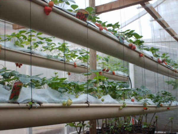culture des fraises hors sol association des jardins familiaux d 39 harfleur. Black Bedroom Furniture Sets. Home Design Ideas