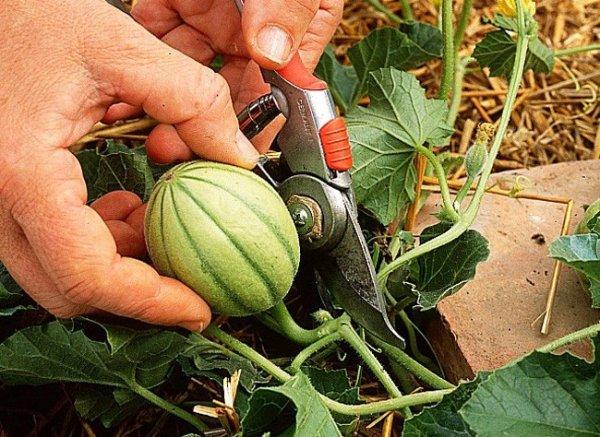 Quand et comment cultiver le melon association des jardins familiaux d 39 harfleur - Quand recolter les melons ...
