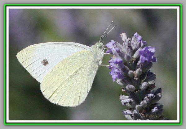 Piéride du chou : à beau papillon, chenille vorace ( pour Max je remets l'article en tête )