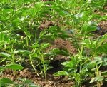Plantation de la pomme de terre