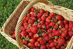 Renouveler sa fraiseraie