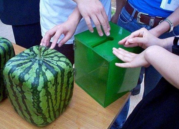 Comment faire pousser une pastèque cubique