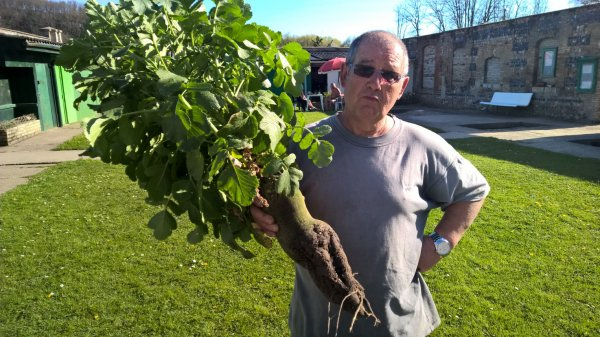 Philippe nous a cultivé un super radis noir