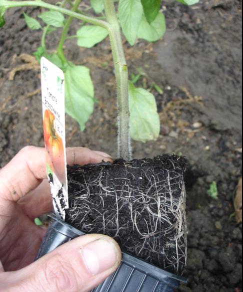 planter ses tomates