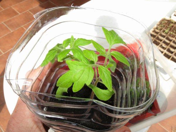 Trouver VOTRE meilleure date pour semer les tomates