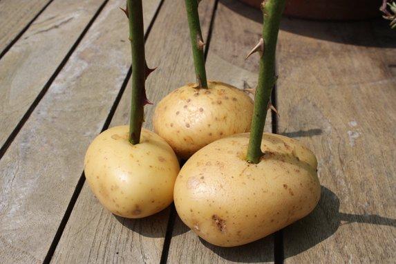 Comment Bouturer ses Rosiers avec des patates ?